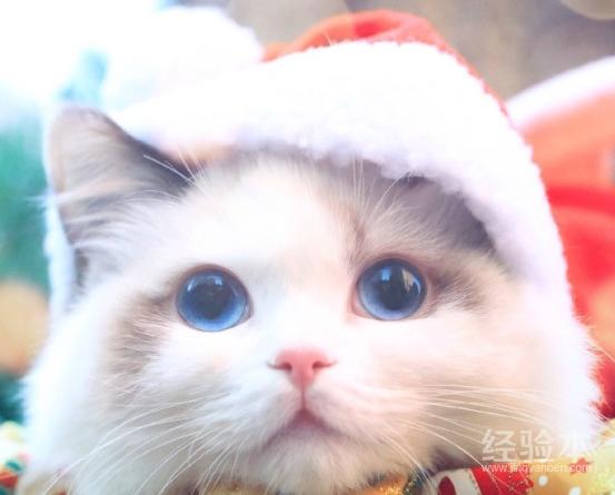 布偶猫好养吗爱得病吗成活率站多少图片