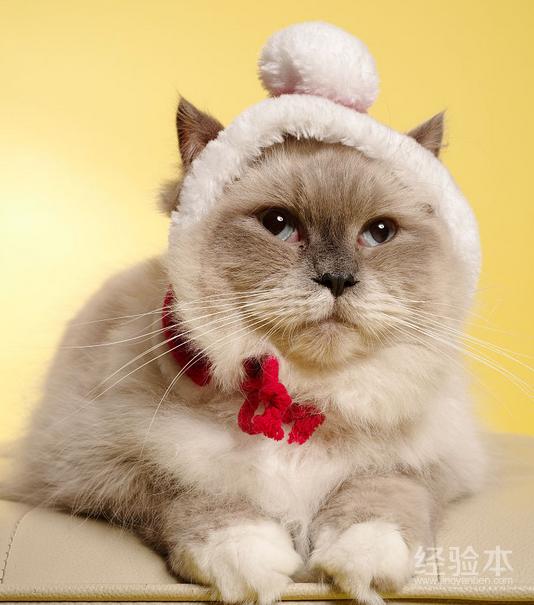 布偶猫好养吗1图片