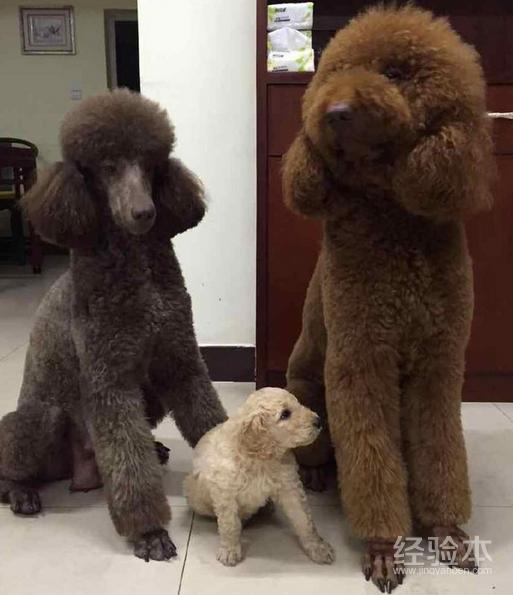白色巨型贵宾犬价格_巨型贵宾犬多少钱一只 这么贵的狗买前一定要留意这些问题 ...