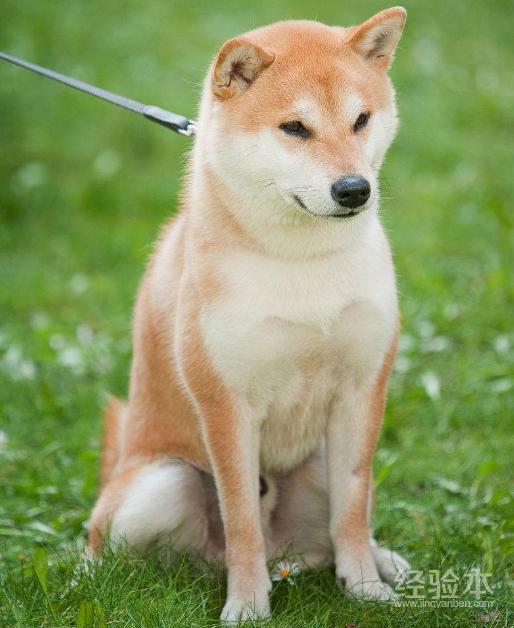 秋田犬咬人嗎 教你方法訓練出溫順不咬人的狗!