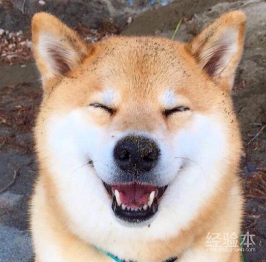 秋田犬性格和缺點 這狗確實忠誠,但妹子難駕馭!