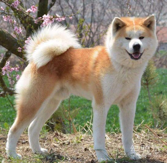秋田犬愛叫嗎 特殊情況下愛叫可能有危險!