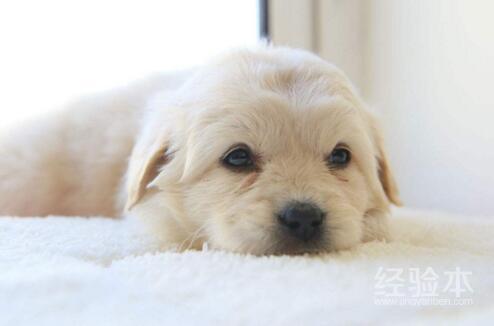 狗狗眼睛紅是怎麼回事 不同原因有不同應對措施!