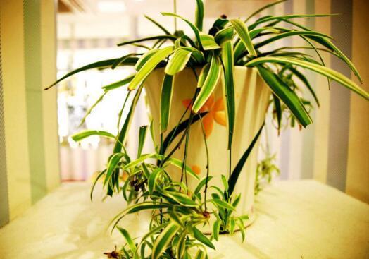 吊蘭怎麼養才能爆盆 做到這5點,吊蘭也可以養成瀑佈成群!