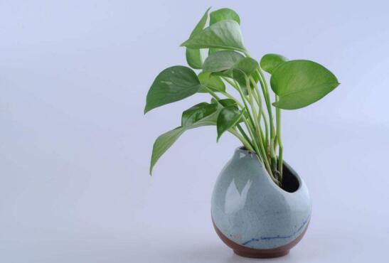 綠蘿吊蘭怎麼養 這樣做可以讓它們躥芽猛長哦!