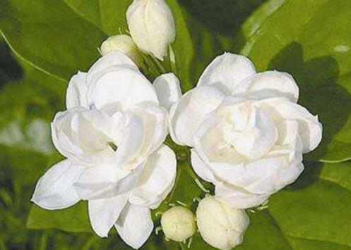 茉莉怎麼才能開花 五種方法讓茉莉花盛開!