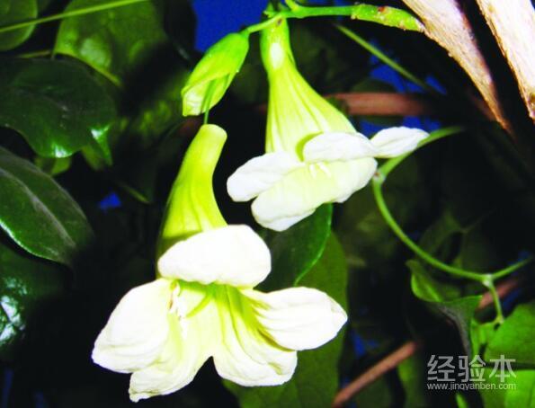 幸福树开花图片图片