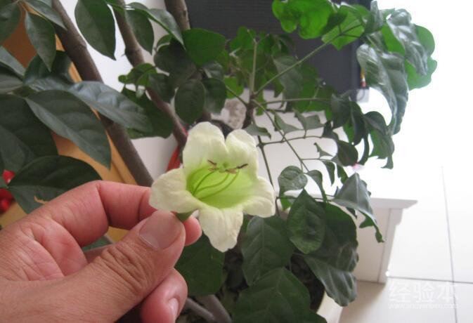 幸福树开花吗图片