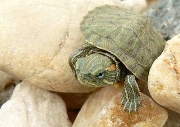 小乌龟冬眠了怎么办_乌龟不吃东西能活多久 乌龟为什么不吃东西-兴趣经验本