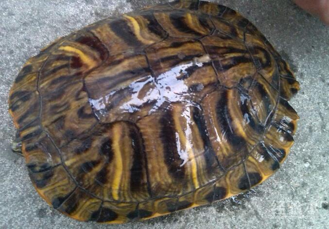 乌龟水霉病会传染吗