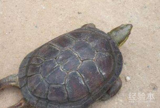 乌龟感冒的症状表现