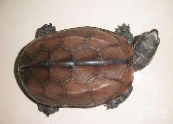 乌龟水霉病怎么治最快
