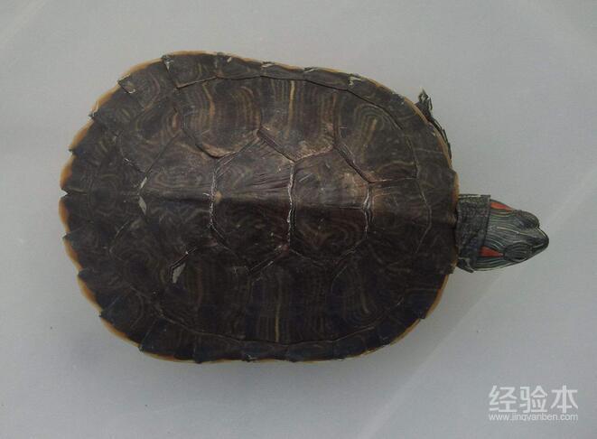 乌龟水霉病干养能好吗